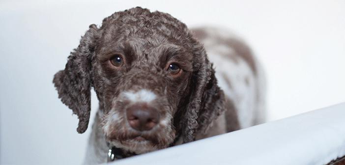 Oatmeal Shampoo For Dogs